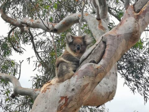 Spot a koala in the Adelaide Hills
